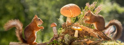 red squirrels standing with mushroom